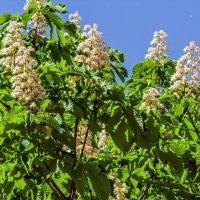 Снова цветут каштаны! :: Варвара