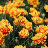 Tulpen :: Marina Reim