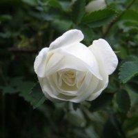 роза :: Letta KO ..