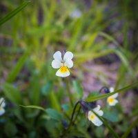 цветики-цветочки :: Ольга (Кошкотень) Медведева