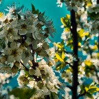 весенние цветение :: Роза Бара