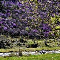 Цветущие склоны Алтая. :: Елена Савчук