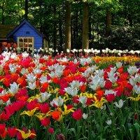 тюльпановый рай :: Александр Корчемный