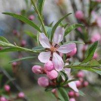 муравей на цветке миндаля :: Наталья Золотых-Сибирская