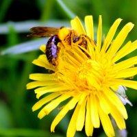 Устали не зная, пыльцу на мёд ты собираешь... :: Валентина ツ ღ✿ღ