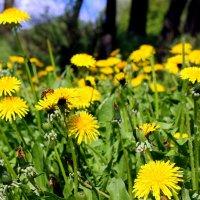 Желтое солнышко в молодой зеленой траве. :: Валентина ツ ღ✿ღ