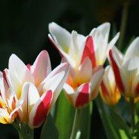 Пора тюльпанов :: lady-viola2014 -