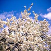 Майское цветение :: Катерина Орлова