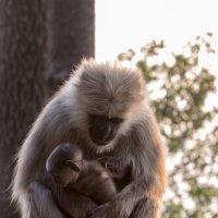 Лангуры. Мать и дитя. :: Oleg