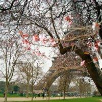 Цветение Парижской сакуры :: Galina Belugina