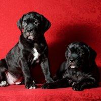 Двухмесячные щенки Кане Корсо :: Константин Косов
