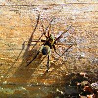 Фотоохота на паука :: Vladimir Perminoff