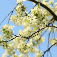 Прекрасная вишня) :: Julia Volkova