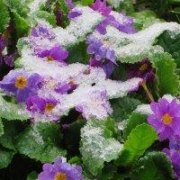 Май снежно-цветущий!!! :: Ирина Олехнович