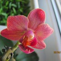 Моя міні орхідейка! :: Марьяна