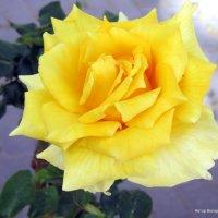 Роза :: Валерьян