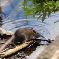крысиный водопой) :: Тарас Золотько