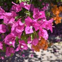 Цветы Туниса :: Марина
