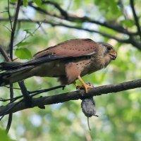Пустельга́- птица из рода соколы. :: - Lanin