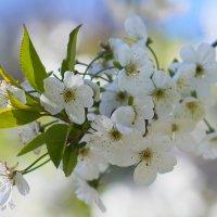 Цветут сады :: lady-viola2014 -