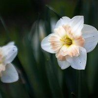 Из маминого сада :: Алена Афанасьева