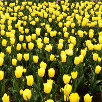 Жёлтые тюльпаны :: Владимир Болдырев