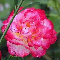 городские цветы-роза пламенная :: Олег Лукьянов