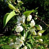 Яблоневый цвет ! :: Мила Бовкун
