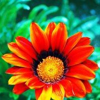 Цветок Герберы :: Aleks Ben Israel