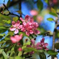 Май на яблоневой ветке.. :: Ирина Сивовол