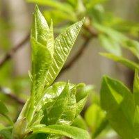 молодая листва :: linnud