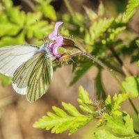 Бабочка Белянка :: Ирина Приходько