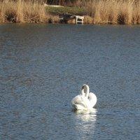 Лебединый февраль. :: Дина Дробина