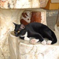 Тайский кот.. :: Андрей Кобриков
