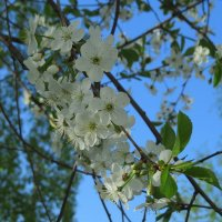 Вишня в цвету :: Сергей Цветков