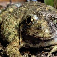 Земляная жаба :: фазил керимов