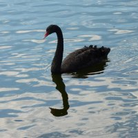 С длинной шеей, красным клювом,черный лебедь плавает по кругу.... :: Galina Leskova