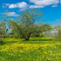 Одуванчиковый рай :: Марина Ломина