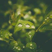 капли после дождя :: Ольга (Кошкотень) Медведева