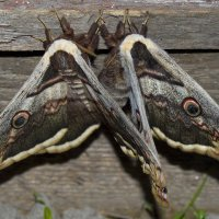 Ночная бабочка Большой ночной павлиний глаз (Saturnia pyri) - наша интересная история :: Наталья (ShadeNataly) Мельник