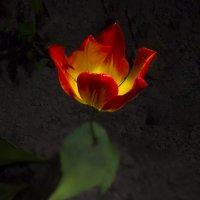 Одинокий тюльпан :: Дубовцев Евгений