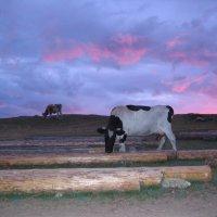 Байкал, хужирские коровы :: Надежда
