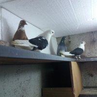 Николаевские голуби.Ашхабад(Абадан) :: Volodya