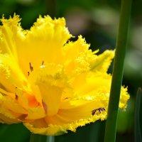 Желтые тюльпаны - вестники разлуки) :: Татьяна Евдокимова