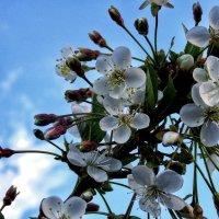 Яблони в цвету... :: Лара ***