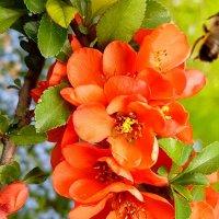Цидоний в цвете. :: Tatjana