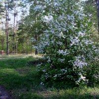 Цветёт в лесу черёмуха . :: Мила Бовкун