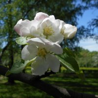 Яблоневый цветок :: Tarka