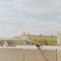 голубь :: Надежда Крылова