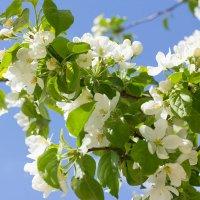 """Яблони в цвету, какое чудо, Яблони в цвету, я не забуду!"" :: Елена Князева"